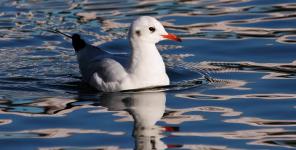 gull-pert
